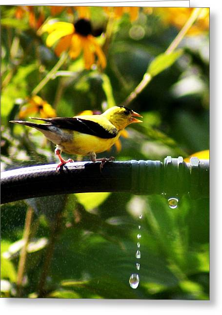 Greeting Card featuring the photograph Yellow Finch With A Water Leak by B Wayne Mullins