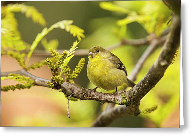 Yellow Finch With Young Seeds Greeting Card
