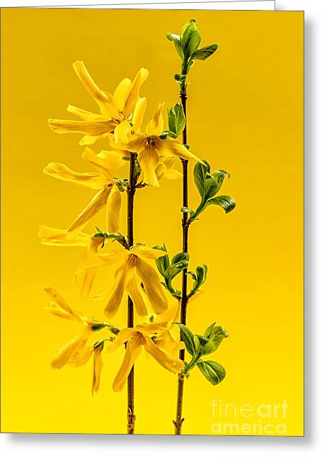 Yellow Forsythia Flowers Greeting Card by Elena Elisseeva