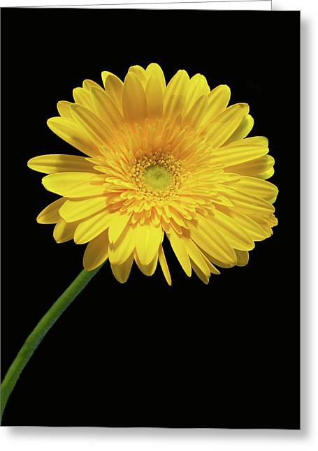 Yellow Gerber Daisy Greeting Card by Joan Powell