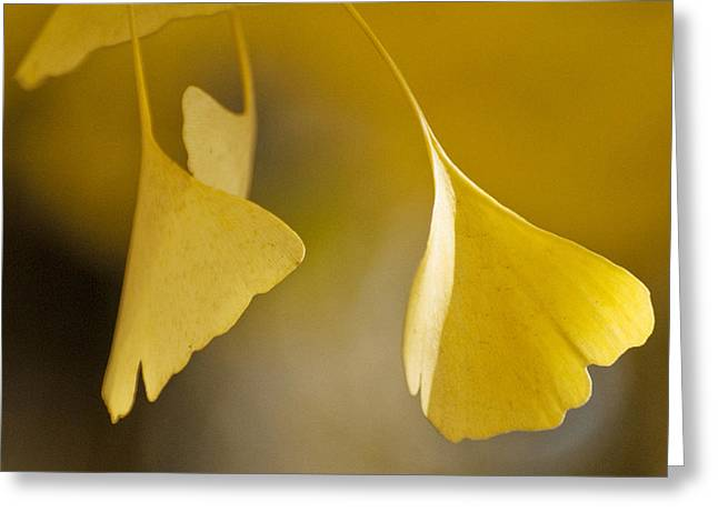 Yellow Ginkgo Greeting Card by Sally Ross