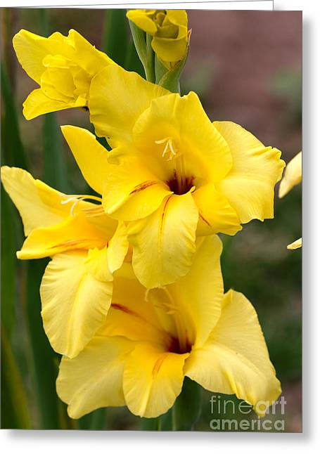 Yellow Gladiolus Greeting Card