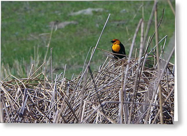 Yellow-headed Blackbird Greeting Card by Harvey Dalley