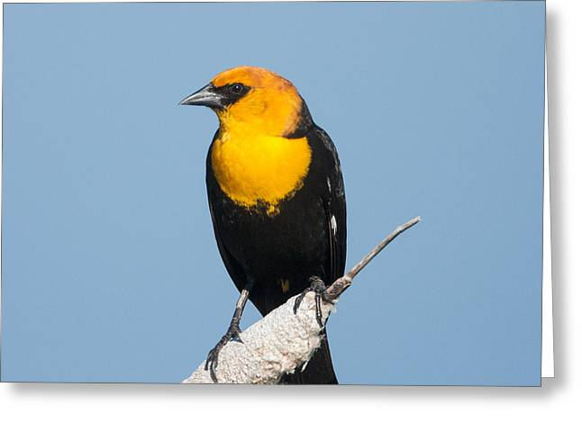Greeting Card featuring the photograph Yellow Headed Blackbird by Jack Bell