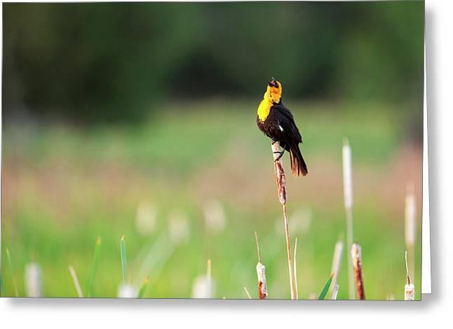 Yellow Headed Blackbird (xanthocephalus Greeting Card by James White