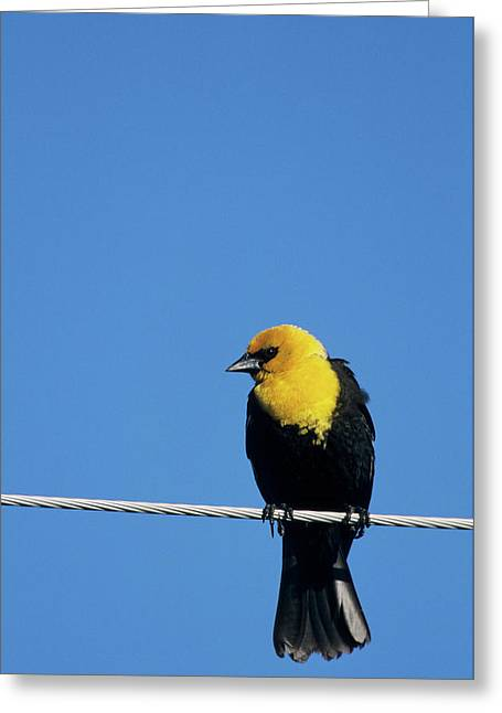 Yellow-headed Blackbird (xanthocephalus Greeting Card