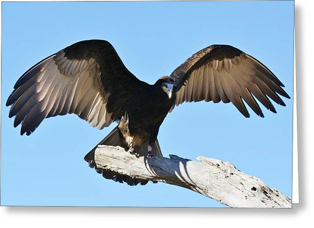Yellow Headed Vulture Greeting Card by Paulette Thomas