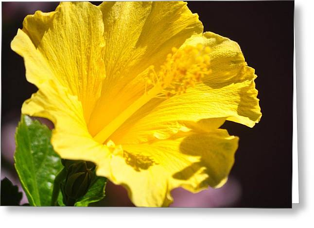 Yellow Hibiscus Open To The Sun Greeting Card