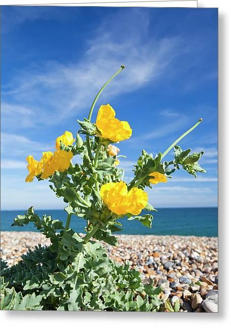 Yellow Horned Poppy (glaucium Flavum) Greeting Card
