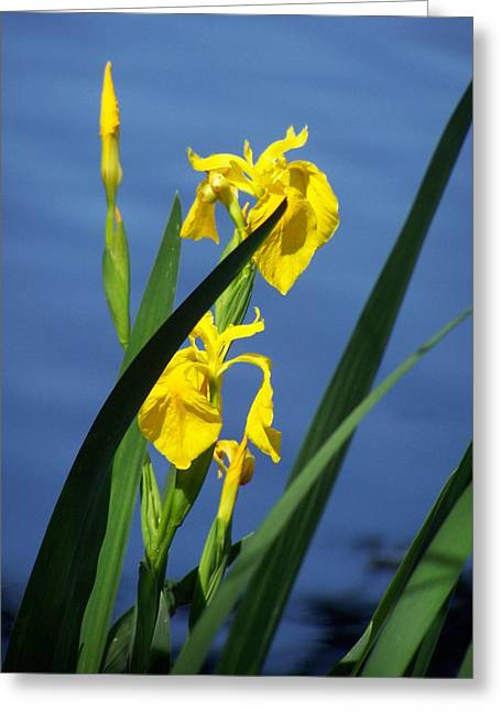 Yellow Irises Greeting Card by Noreen HaCohen