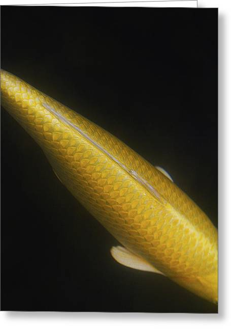 Yellow Koi Tail Up Vertical Greeting Card