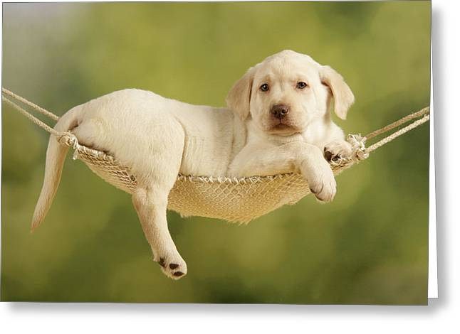 Yellow Lab Puppy Greeting Card by John Daniels