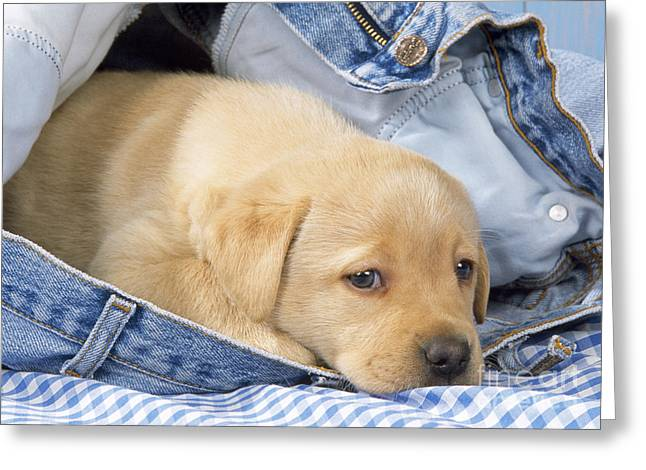 Yellow Labrador Puppy In Jeans Greeting Card