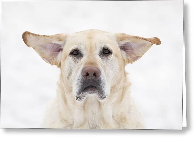 Yellow Labrador Retriever Dog With Greeting Card