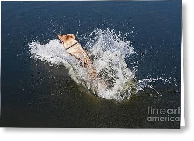 Yellow Labrador Retriever Greeting Card by William H Mullins
