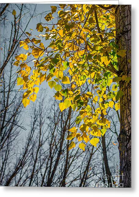 Yellow Leaves Greeting Card by Carlos Caetano