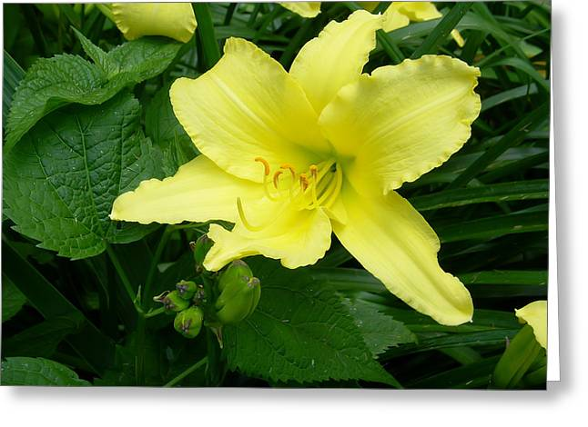 Yellow Lily Greeting Card by Aimee L Maher Photography and Art Visit ALMGallerydotcom