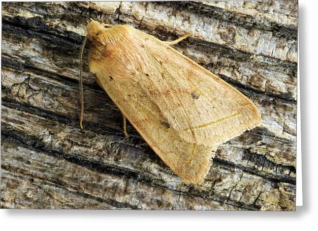 Yellow Line Quaker Moth Greeting Card by David Aubrey