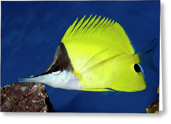 Yellow Long-nosed Butterflyfish Greeting Card by Nigel Downer