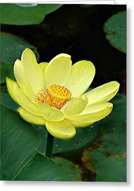 Greeting Card featuring the photograph Yellow Lotus by William Tanneberger
