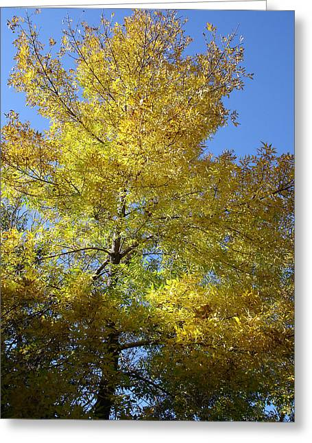 Yellow Maple Tree Greeting Card by Michel Mata