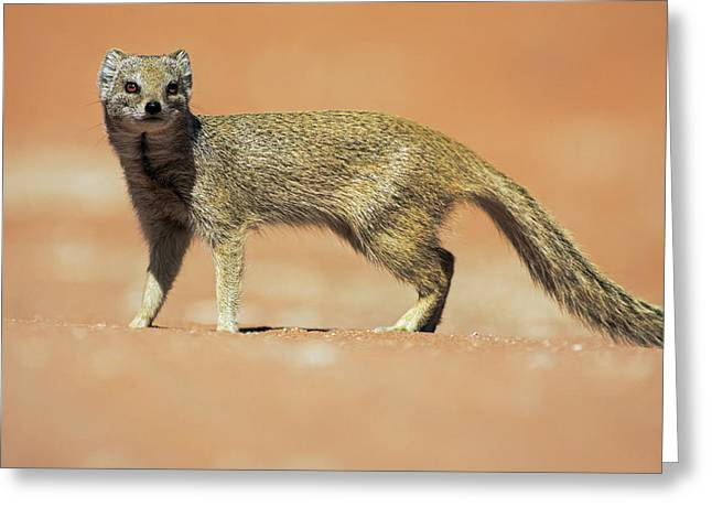 Yellow Mongoose In Kalahari Desert Greeting Card by Heike Odermatt