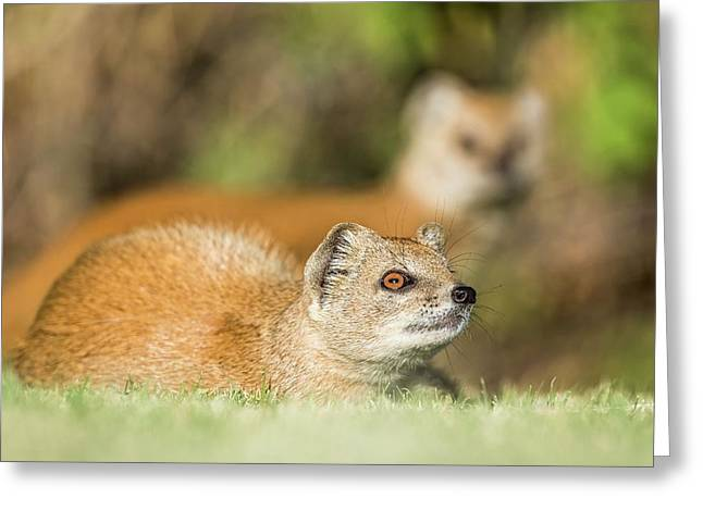 Yellow Mongoose Greeting Card by Peter Chadwick/science Photo Library