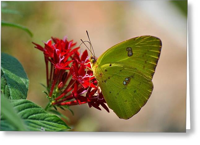 Greeting Card featuring the photograph Yellow Moth by Kelly Nowak