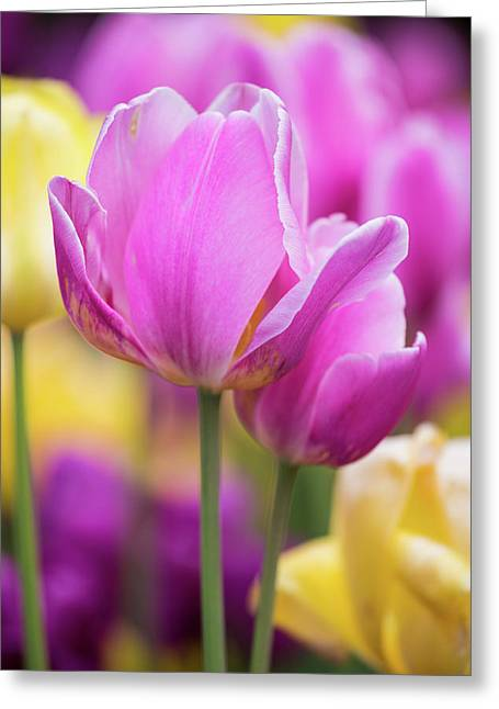 Yellow, Pink And Purple Tulips Blooming Greeting Card