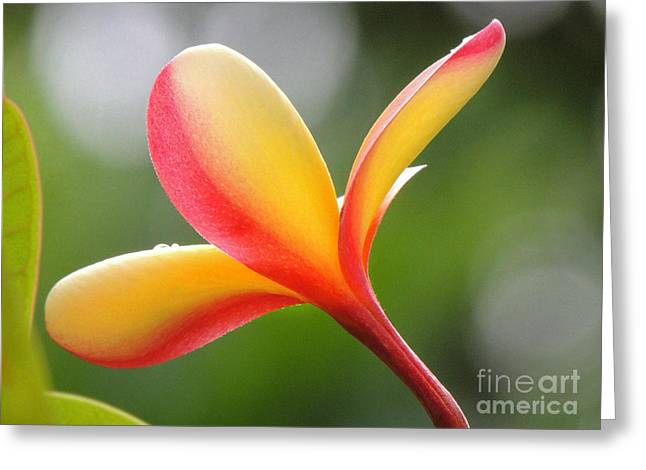 Yellow Pink Plumeria Greeting Card