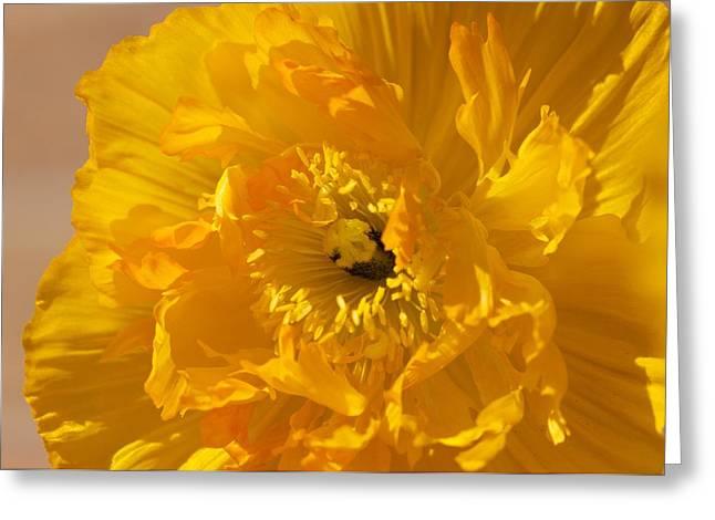 Yellow Poppy Greeting Card by Bonita Hensley