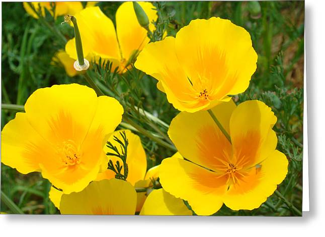 Yellow Poppy Flowers Art Prints Poppies Greeting Card by Baslee Troutman