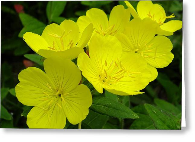 Yellow Primrose Greeting Card