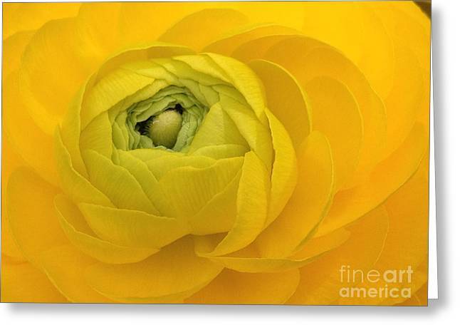 Yellow Ranunculus  Greeting Card