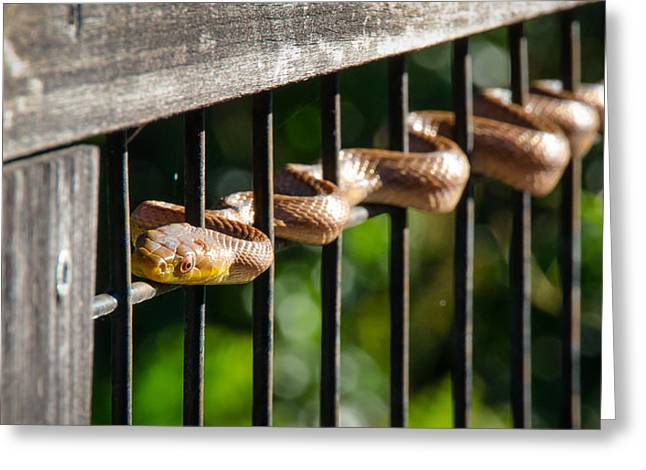Yellow Rat Snake Greeting Card