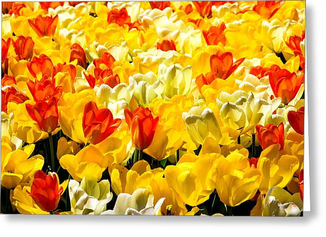 Yellow Red And White Tulips Greeting Card by Menachem Ganon