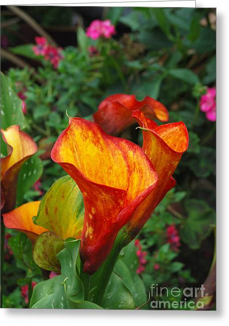 Greeting Card featuring the photograph Yellow Red Calla Lily by Eva Kaufman