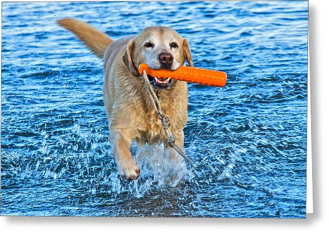 Yellow Retriever Greeting Card by Steven Lapkin