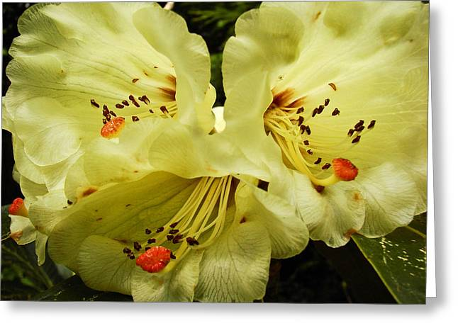 Yellow Rhodies Greeting Card by Ronda Broatch