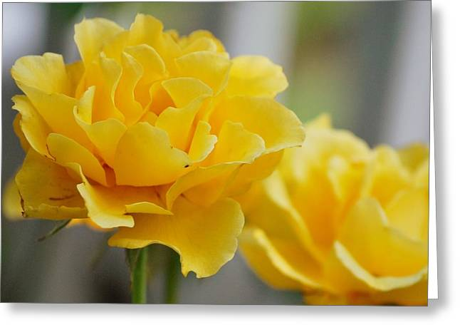 Greeting Card featuring the photograph Yellow Rose by Amee Cave