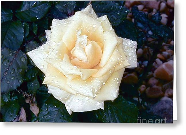Greeting Card featuring the photograph Yellow Rose At Dawn by Alys Caviness-Gober