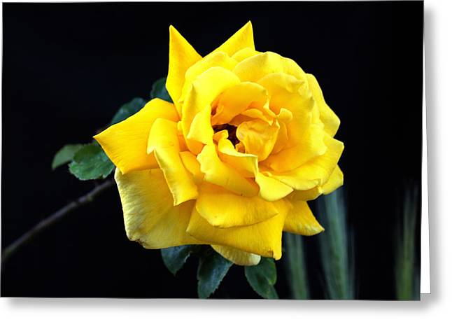Yellow Rose Greeting Card by Charles Ables