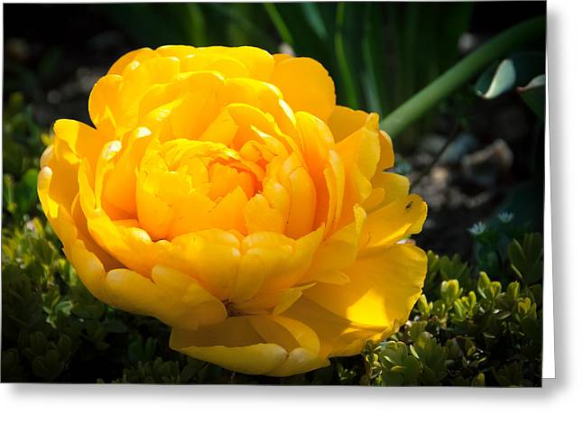 Greeting Card featuring the photograph Yellow Rose by Dee Dee  Whittle