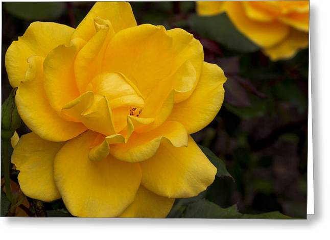 Greeting Card featuring the photograph Yellow Rose by Ivete Basso Photography