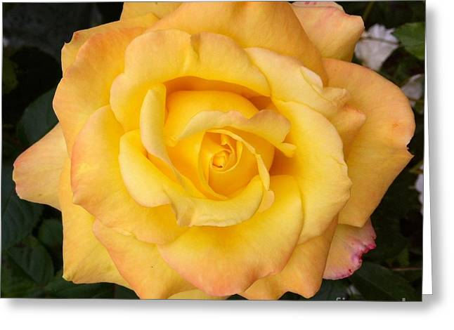 Yellow Rose Of Friendship Greeting Card