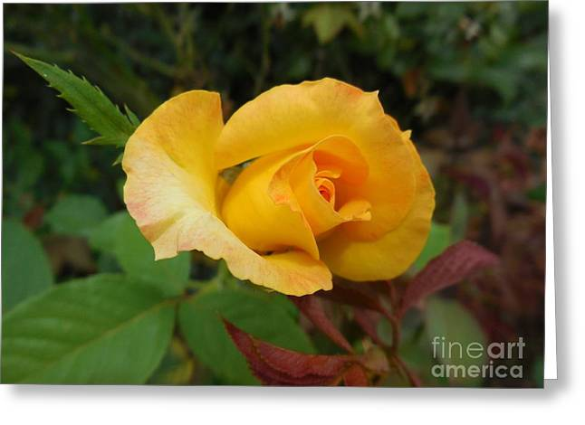 Yellow Rose Of Texas Greeting Card by Eloise Schneider