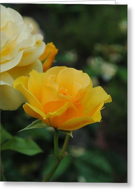 Yellow Rose Portland Greeting Card by Robert  Moss