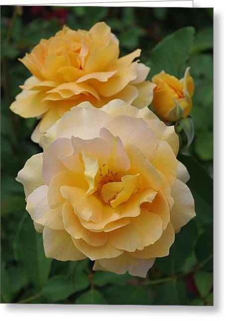 Greeting Card featuring the photograph Yellow Roses by Marilyn Wilson