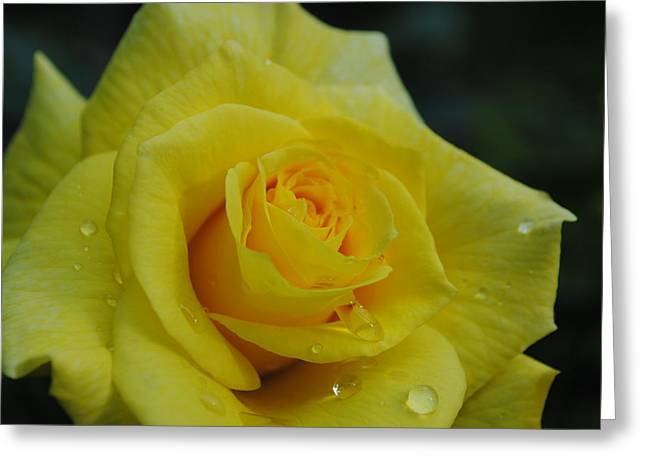Yellow Roses Greeting Card by Robert  Moss