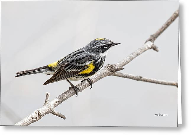 Yellow-rumped Warbler 3 Greeting Card by Jeff Swanson